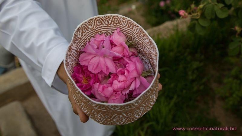 Raccolta petali di rosa damascena